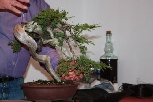 Bonsai Sobre la poda de la sabina - Assoc. Bonsai Muro