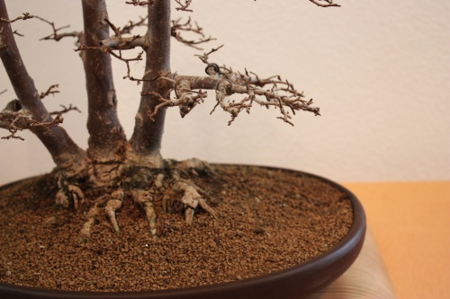 Bonsai Triple tronco - Ulmus Minor - Bonsai Novelda - Assoc. Bonsai Muro