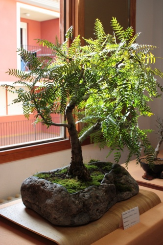 Bonsai Schinus Molle - Club Bonsai Novelda - Assoc. Bonsai Muro