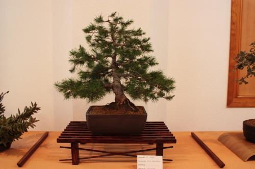 Bonsai Pino Blanco o Halepensis - club bonsai Novelda - Assoc. Bonsai Muro