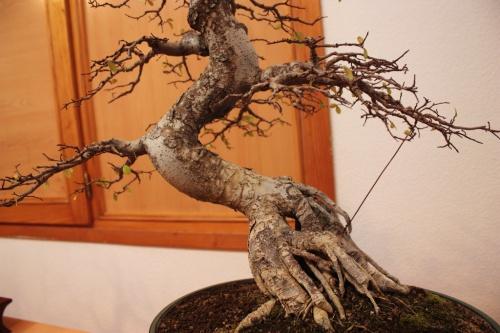 Bonsai Sinuosidad del tronco - Olmo del Club Bonsai Villena - Assoc. Bonsai Muro