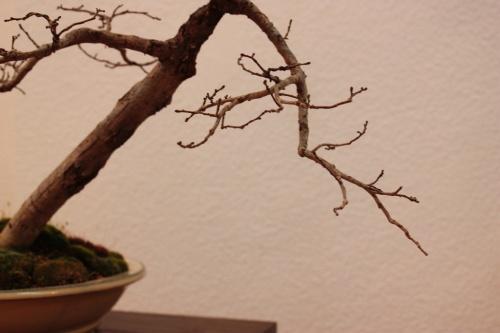 Bonsai Detalle de una rama de Olmo - Club Villena - Assoc. Bonsai Muro