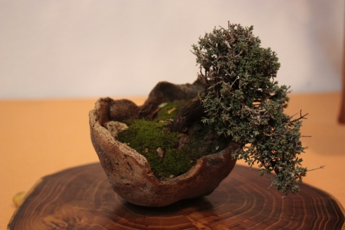 Bonsai Tomillo en un cuenco - Assoc. Bonsai Muro