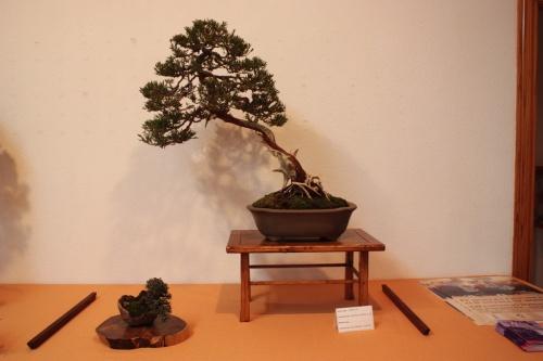 Bonsai Juniperus Chinensis Sp. - Assoc. Bonsai Muro