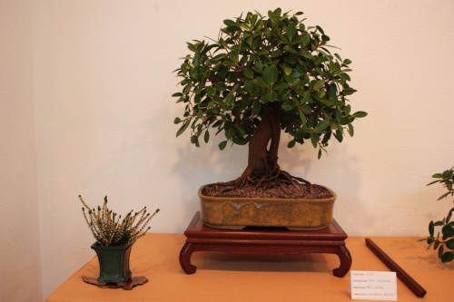 Bonsai Ficus Compacta de Paco Lopez en Muro ( 2010 ) - Assoc. Bonsai Muro