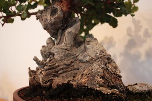 Bonsai Base del tronco - Ceratonia o Garrofer - Jose Terol - Assoc. Bonsai Muro