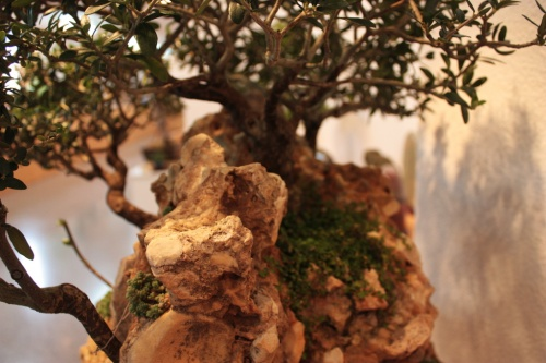 Bonsai Roca por el otro lado - Assoc. Bonsai Muro