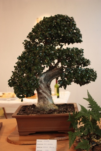 Bonsai Gran Olivo de Ernesto Pascual - Club Bonsai Muro - Assoc. Bonsai Muro