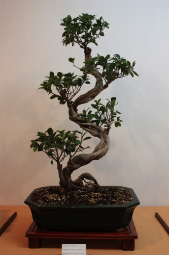 Bonsai Ficus Compacta de Juan Saez - Club bonsai Elche 2010 - Assoc. Bonsai Muro
