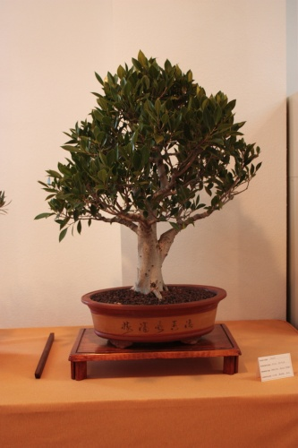 Bonsai Ficus Retusa de Francisco Agulló - Elx - Assoc. Bonsai Muro