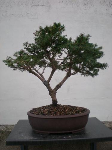 Bonsai Picea glenii - Elias