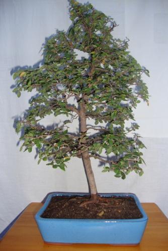Bonsai ulmus parvifolia 4 - javel