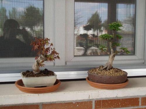 Bonsai Arces  Palmatum y Shishigashira - Bonsais Robados