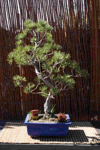 Bonsai Pino silvestris - Bonsais Robados