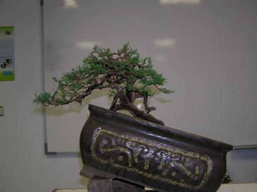 Bonsai 4540 - Bonsais Robados