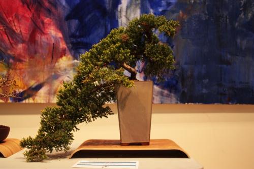Bonsai Juniperus Procumbens Nana del Novelda Club Bonsai - torrevejense