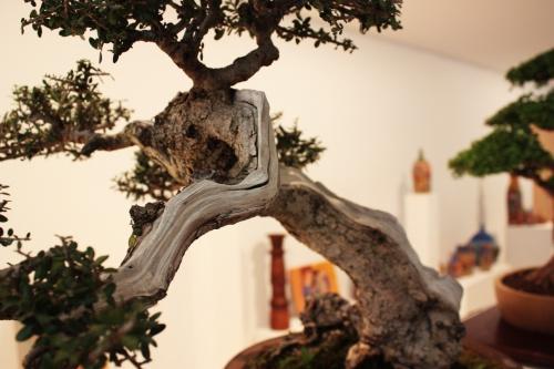 Bonsai Rama del Acebuche - Bonsai Ontiyent - torrevejense