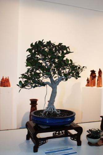 Bonsai Ficus Robustifolia - Elx Club Bonsai - torrevejense