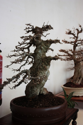 Bonsai 4944 - torrevejense