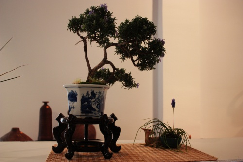 Bonsai 4980 - torrevejense
