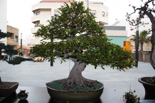 Bonsai 4988 - torrevejense
