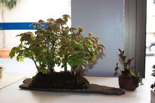 Bonsai 5004 - torrevejense