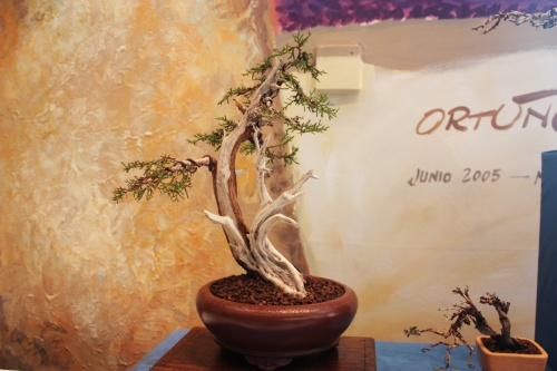 Bonsai 5012 - torrevejense