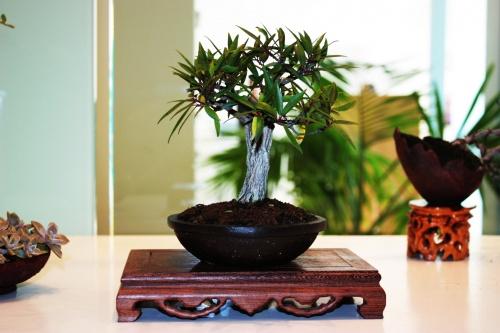 Bonsai Ficus subulata - Jose Gomez del Rio - torrevejense