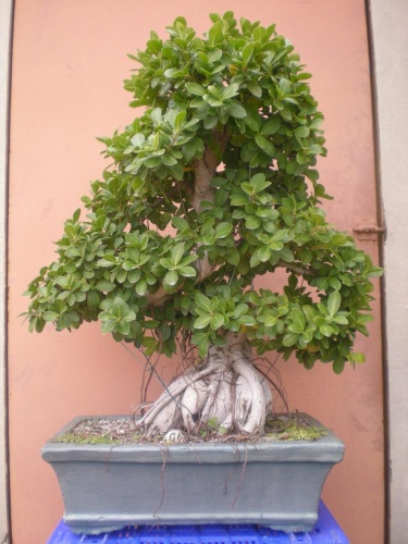 Bonsai Ficus-2 - Elias