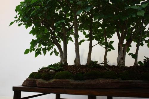 Bonsai Bosque de Cerca - Lopez Cebrian 2010 - CBALICANTE
