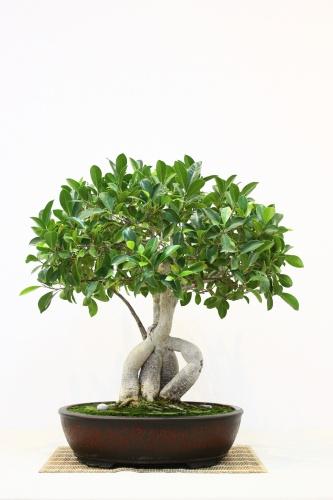 Bonsai Ficus Retusa - Mutxamel 2010 - Jesus Hernandez - CBALICANTE