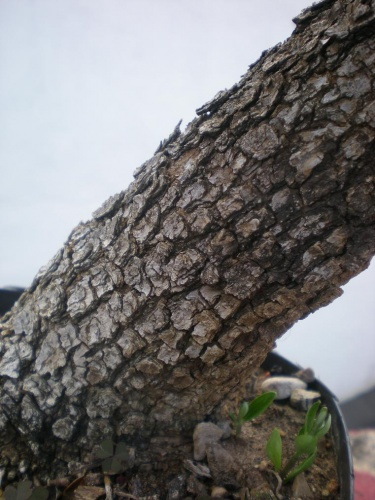 Acebuche-F-Corteza tronco