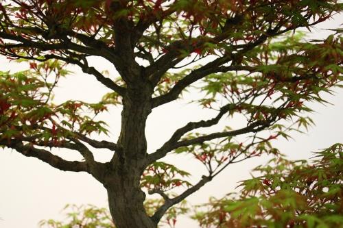 Bonsai Por dentro del Acer Palmatum - CBALICANTE