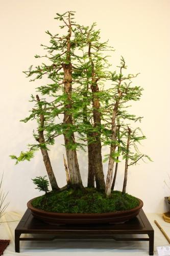 Bonsai Bosque de Taxodium Disticum - Juan Ortega 2010 - CBALICANTE