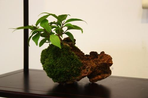 Bonsai 5460 - CBALICANTE