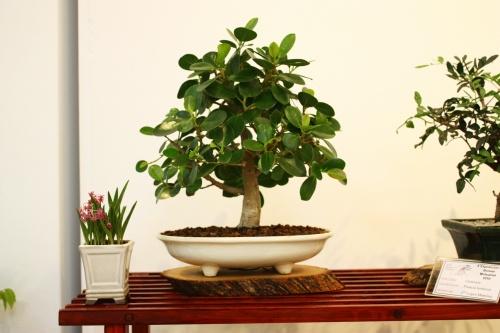 Bonsai Ficus Panda - Fco Lopez Cebrian - 2010 - CBALICANTE
