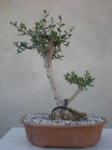 Bonsai Acebuche-A - Salva