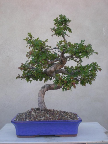 Bonsai Olmo - Salva