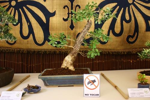 Bonsai Quercus Faginea - Amigos Lorca 2010 - Amigos del Bonsai Lorca