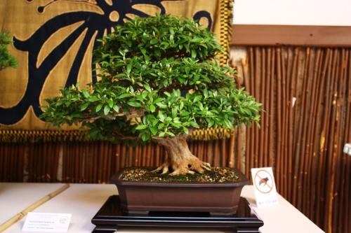 Bonsai Rododendro o Rhododendron Indicun - Juan Gomez Hernandez - Amigos del Bonsai Lorca