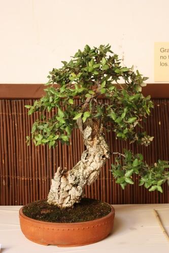 Bonsai Quercus Suber ( Alcornoque ) - Juan Gomez Hernandez - Lorca 2010 - Amigos del Bonsai Lorca