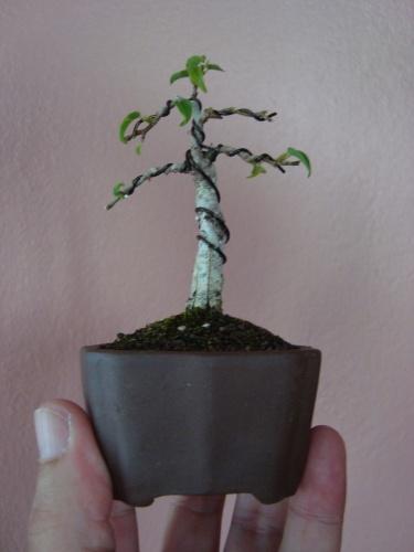 Bonsai Bonsai Shito Ficus Benjamina - Luis