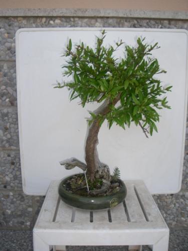 Bonsai 5884 - mihogo