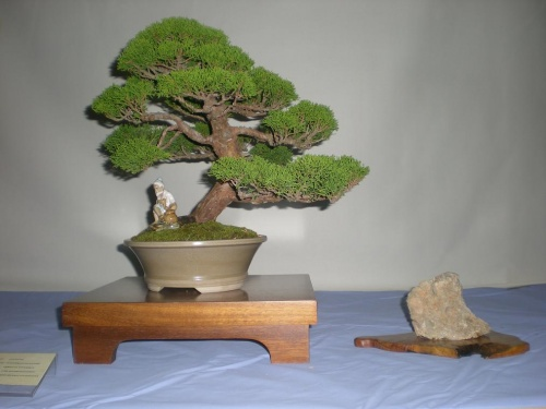 Bonsai Junipero chinensis - Cocentaina