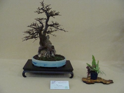 Bonsai Olmo campestre - Vila-real