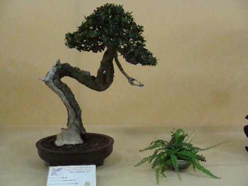 Bonsai Acebuche - Vila-real