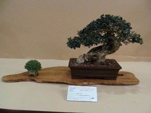 Bonsai Acebuche - Vila-real