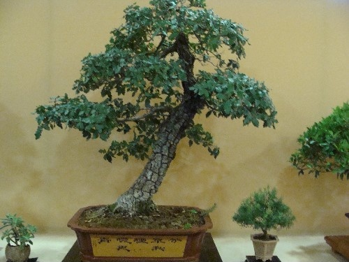 Bonsai Roble - Vila-real