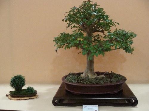 Bonsai Lagerstroemia indica - Vila-real