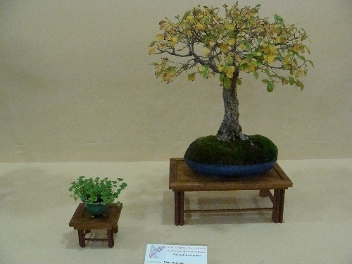 Bonsai Olmo siberiano - Vila-real
